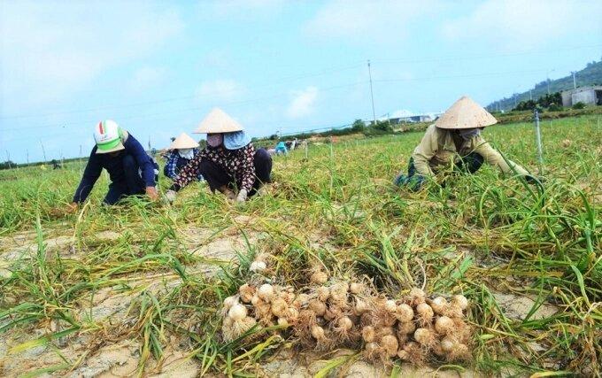 Tỏi là sản phẩm nổi tiếng ở huyện đảo Lý Sơn (Quảng Ngãi)