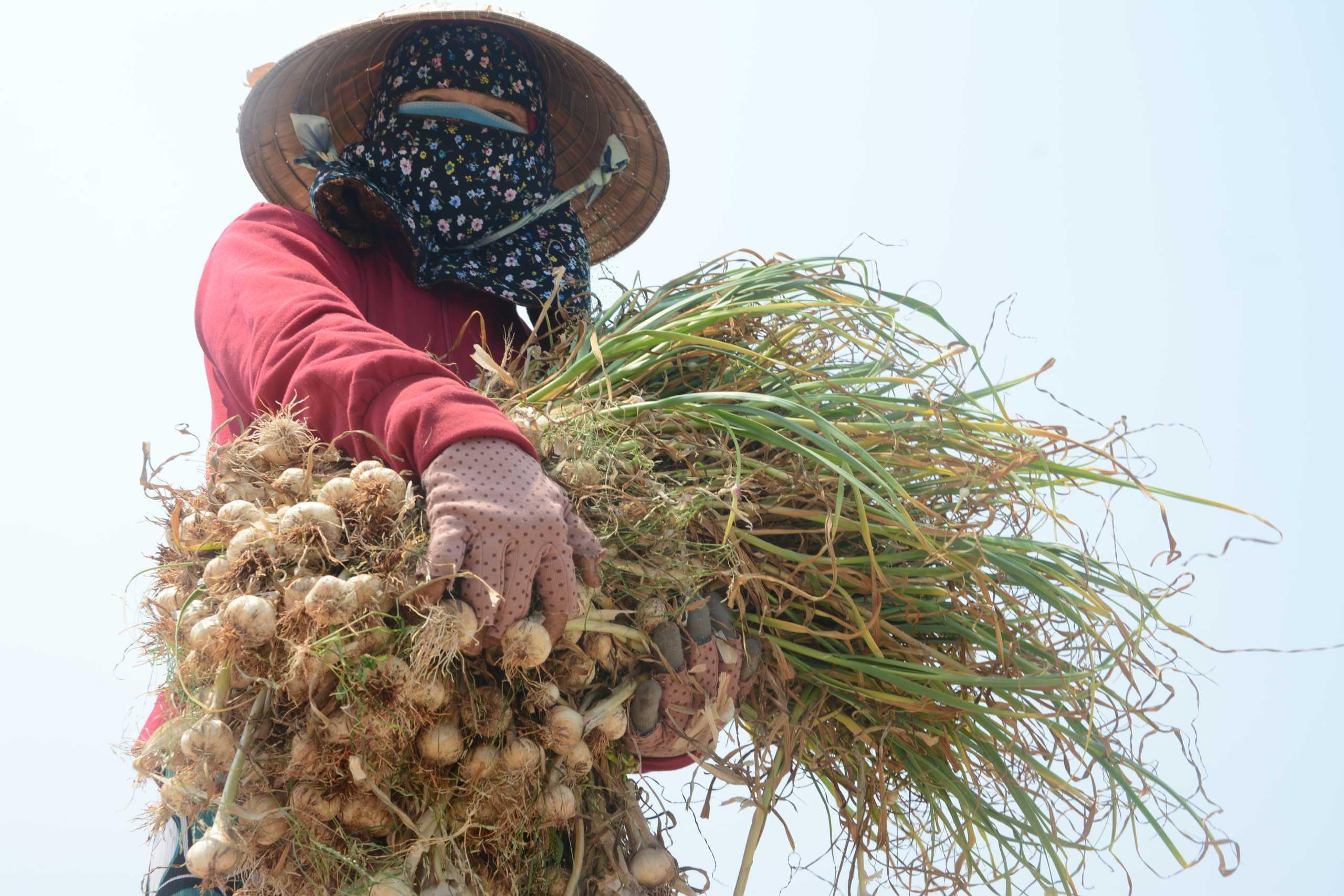 Mùa hu hoạch tỏi của nông dân huyện đảo Lý Sơn