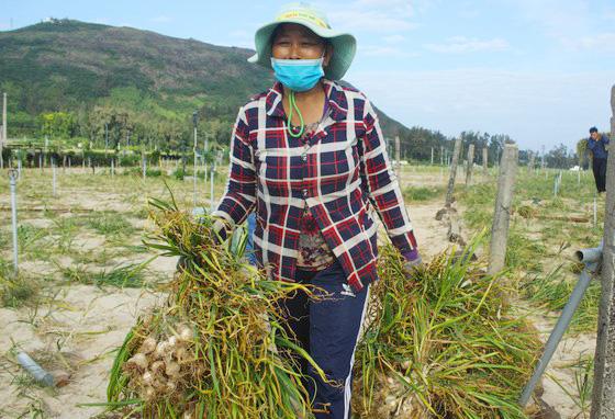 Người dân Lý Sơn đang thu hoạch tỏi trồng tại đảo Lý Sơn.