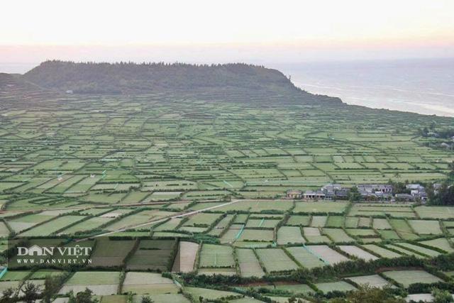 Một góc cánh đồng trồng tỏi ở Lý Sơn.