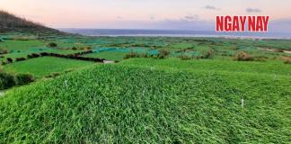 Cánh đồng tỏi trên đảo Lý Sơn.