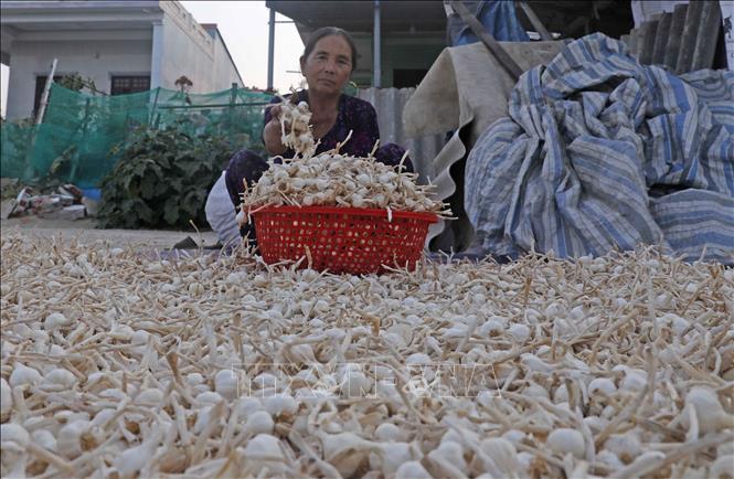 Hộ gia đình bà Nguyễn Thị May ở đảo Lý Sơn vay vốn hộ nghèo đầu tư trồng tỏi, gia đình có việc làm, thu nhập ổn định.