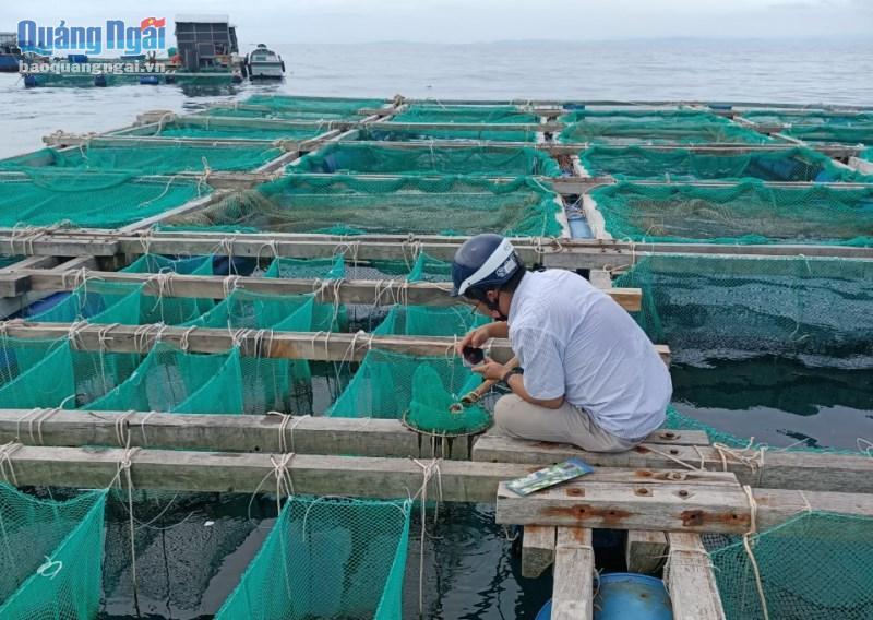 Mô hình nuôi thử nghiệm nhum sọ ở vùng biển ven bờ huyện Lý Sơn.