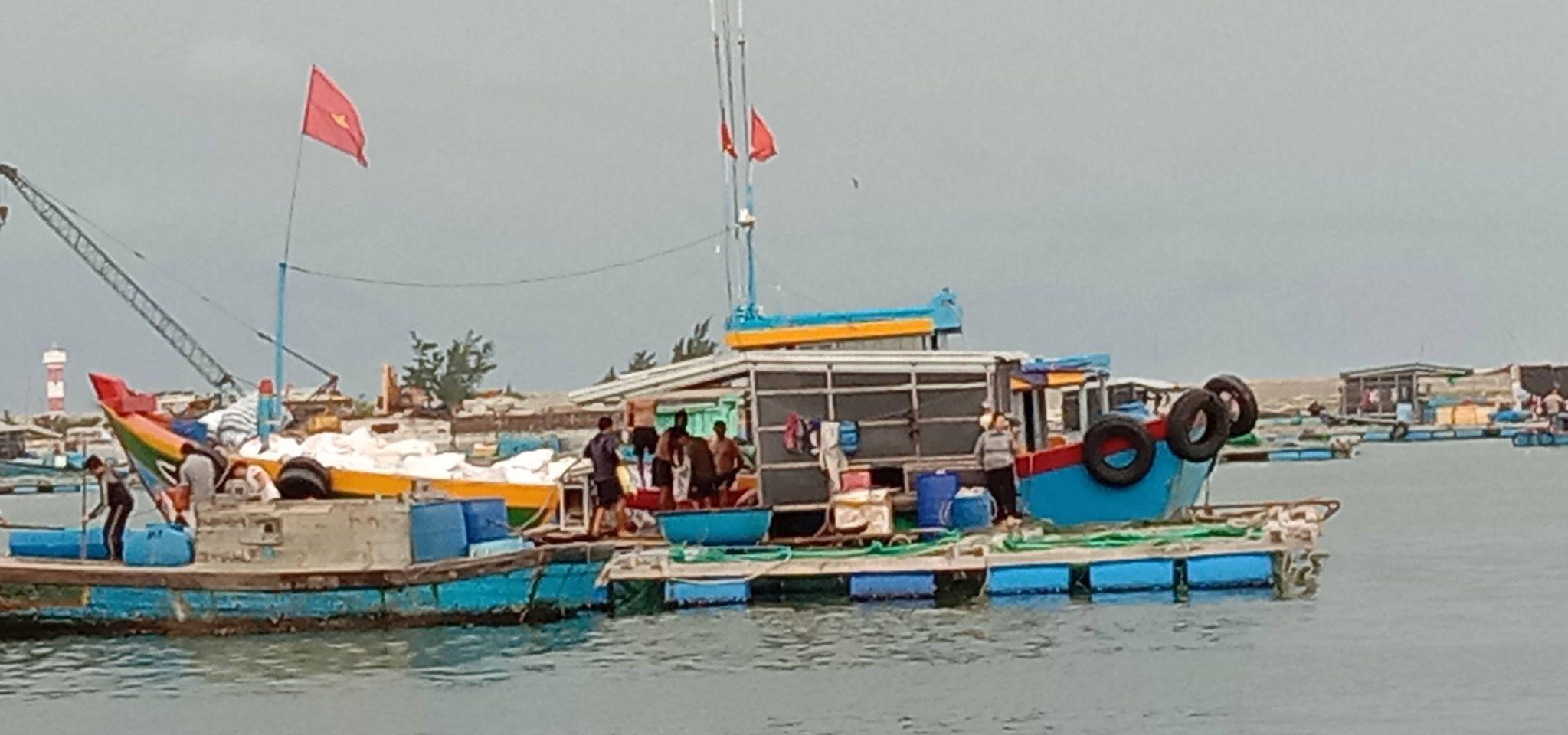 Thu hoạch cá Bớp để bán cho tư thương
