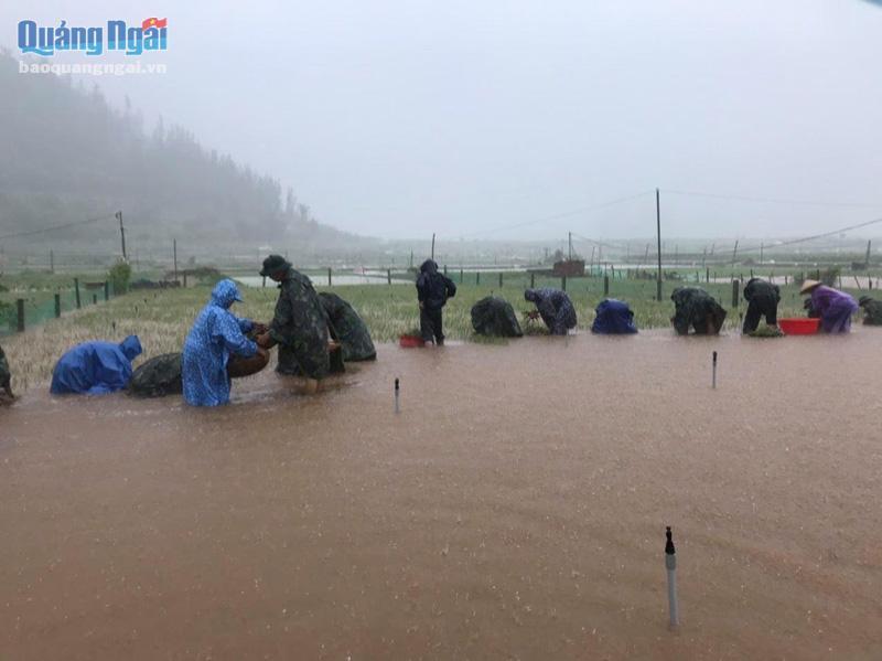 Giúp người dân thu hoạch hành tím bị ngập.