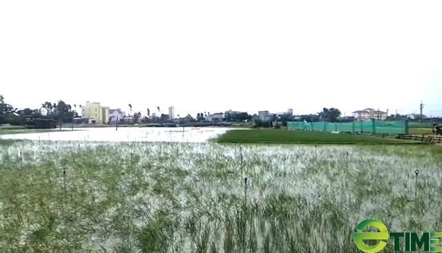 Khu vực đồng trồng hành bị ngập nước làm người dân thiệt hại tiền tỷ.